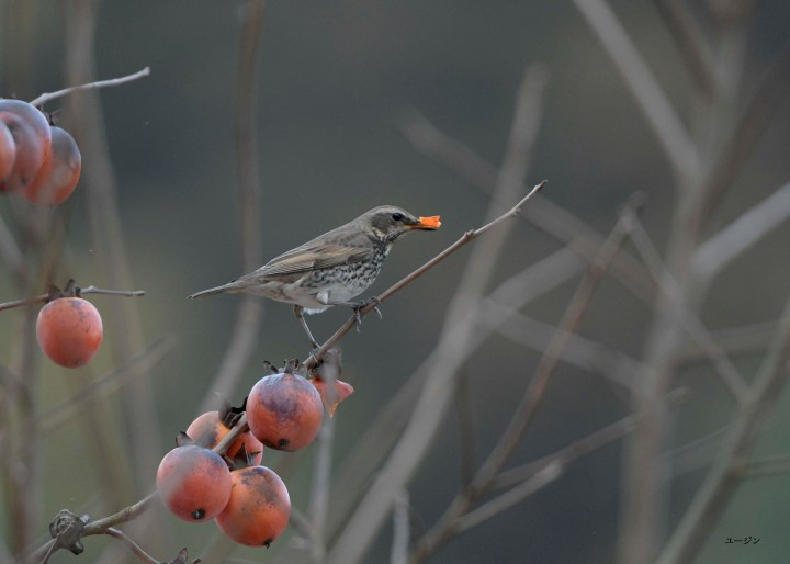 Dusky Thrush eating persimmon fruits