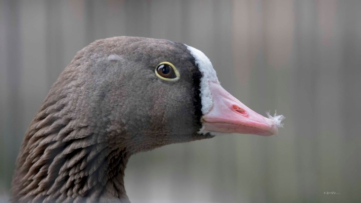 Lesser white-fronted goose.
