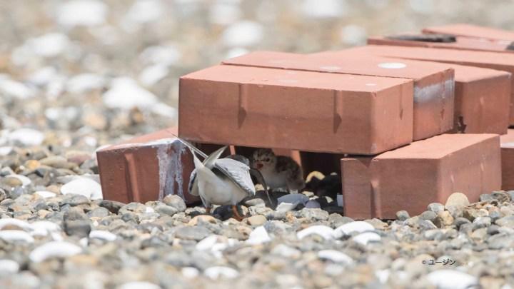 Little Tern Project 2018