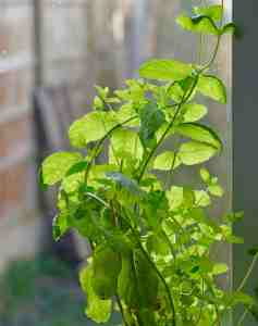 types of herbs mint