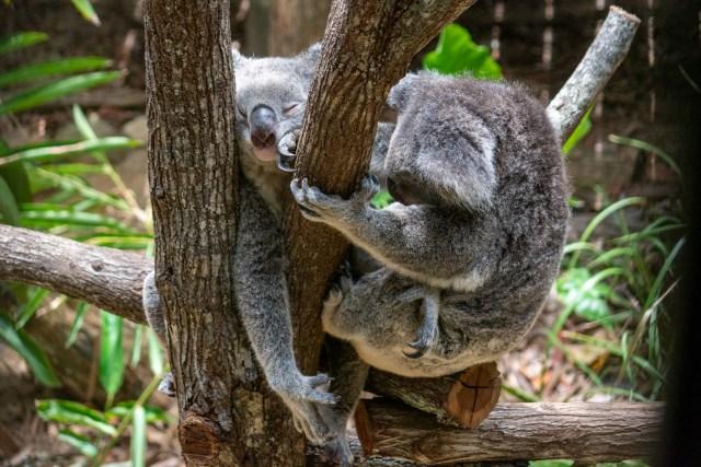 Two koalas at Daisy Hill Sanctuary