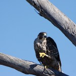 Falcon_in_tree_.....2