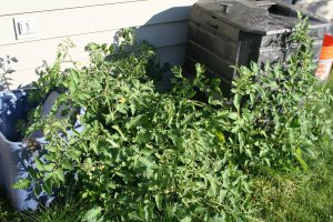 Compost Bin Tomato plant volunteer