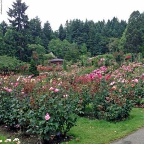 International Rose Test Garden in summer - Portland, Oregon