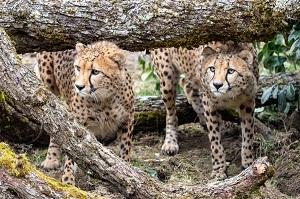 Gepard   Foto: Harry Schiffer