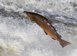 salmon jumping up a river