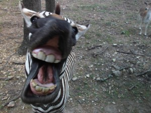 Wild Animal Safari Park, Strafford, MO