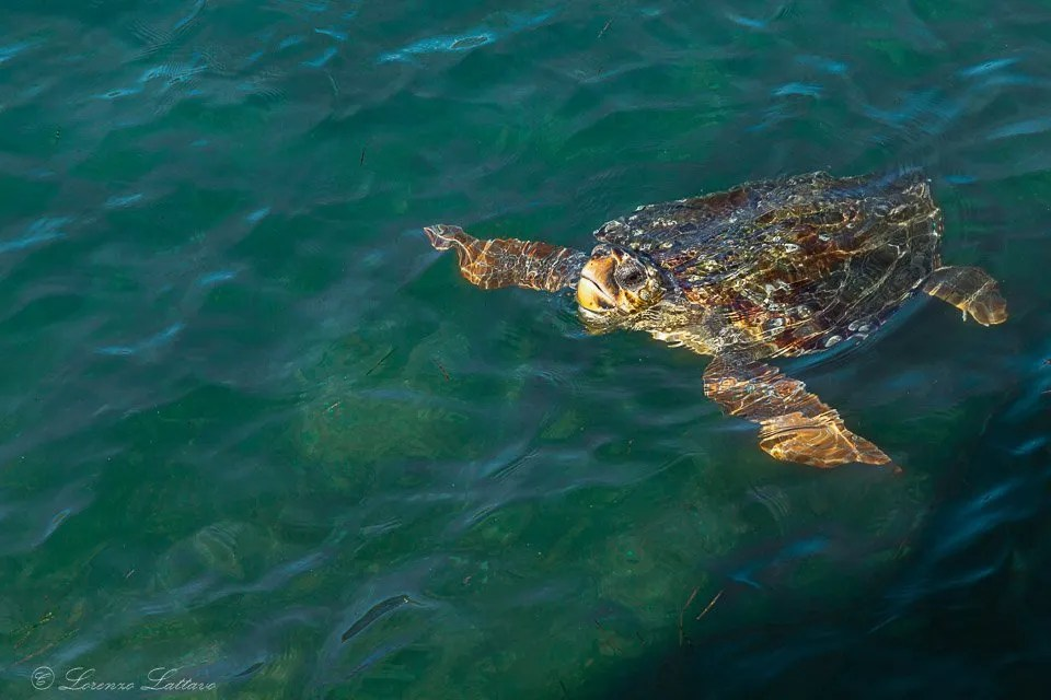 tartaruga caretta caretta ad argostoli di cefalonia