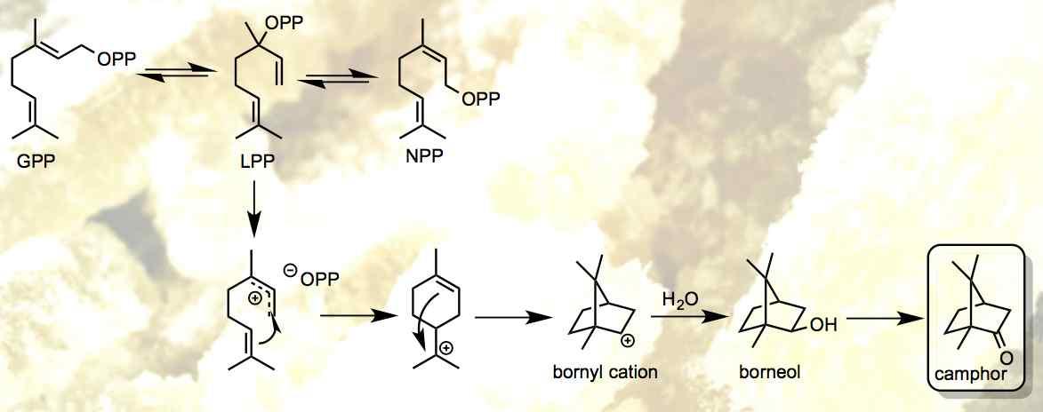 camphor biosynthesis.jpg