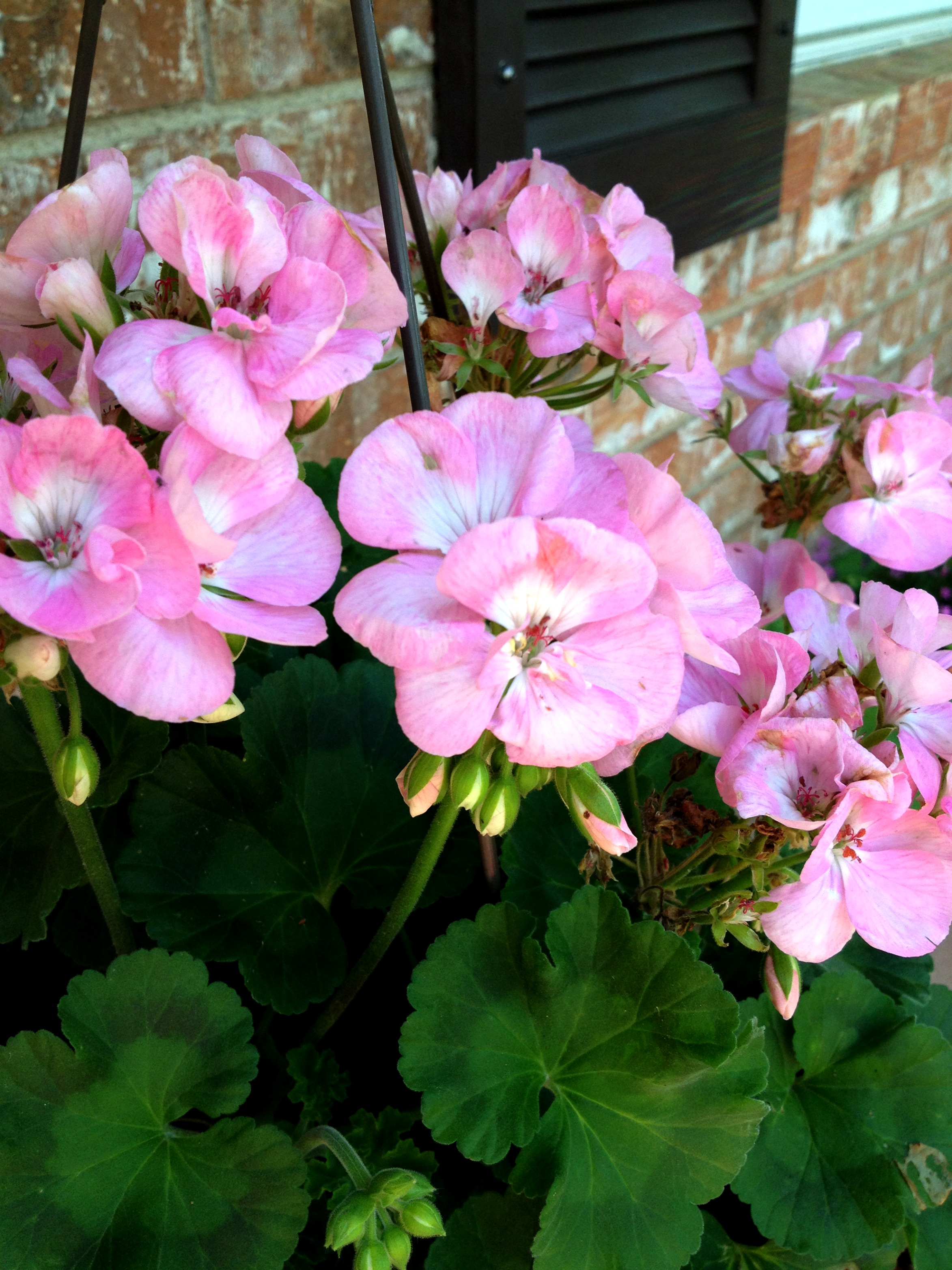 4 Easy Tips On Potted Geraniums
