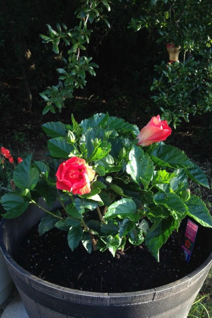 Chemistry Cachet's easy tips on potted hibiscus chemistrycachet.com