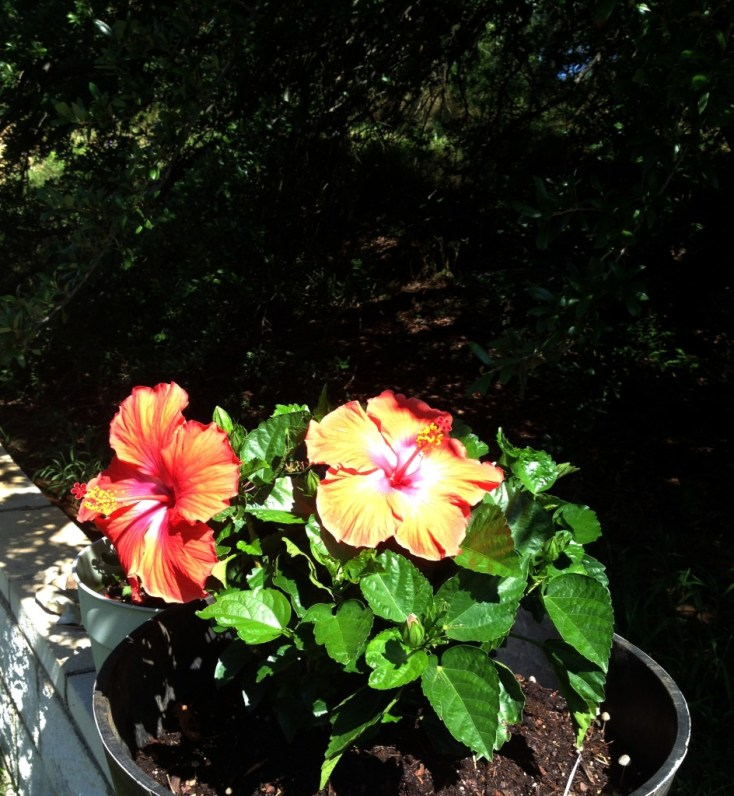 Potting a Hibiscus correctly makes it thrive! on chemistrycachet.com