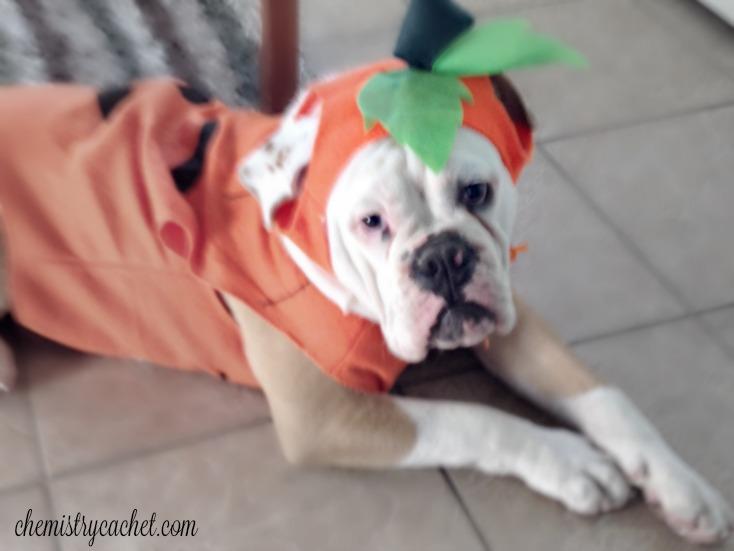bulldog halloween costume!