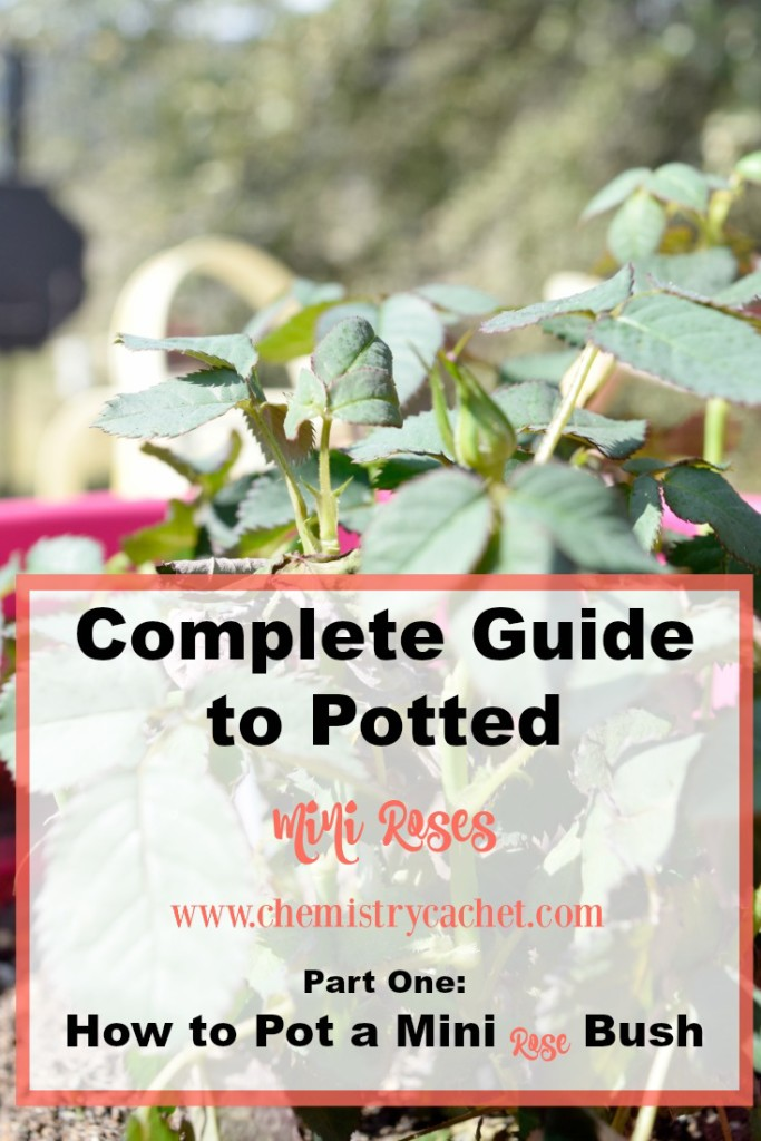 The Complete Guide to Mini Roses Part one is How to Pot a Mini Rose Bush!