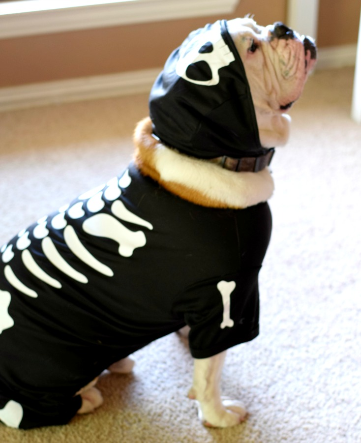 Happy November! English Bulldog Costume
