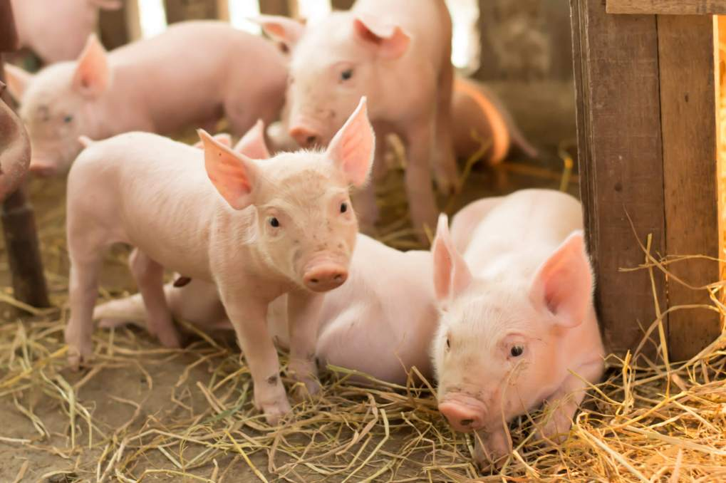 methionine availability in pigs