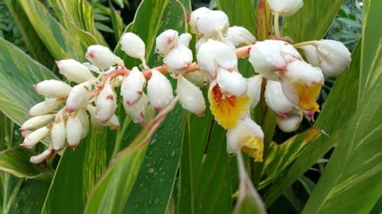 fructus-amomi-rotundus-bai-dou-kou-%e7%99%bd%e8%b1%86%e8%94%bb