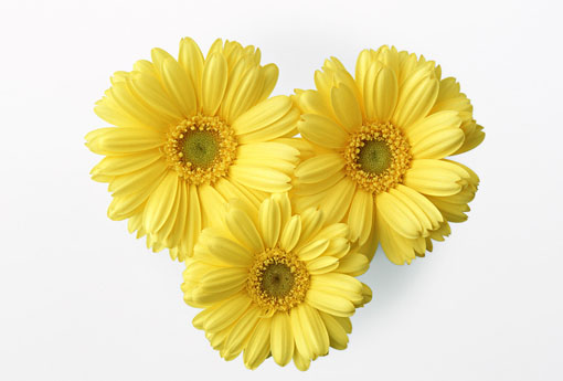 flos-chrysanthemi-ju-hua-%e8%8f%8a%e8%8a%b1