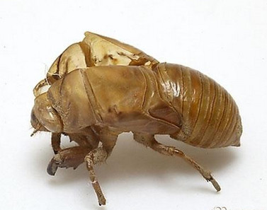 periostracum-cicadae-chan-tui-%e8%9d%89%e8%9c%95