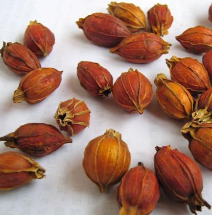 fructus-gardeniae-zhi-zi-%e6%a0%80%e5%ad%901