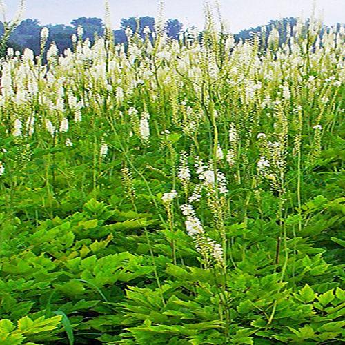 rhizoma-cimicifugae-sheng-ma-%e5%8d%87%e9%ba%bb