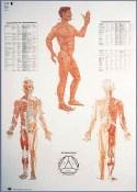planche d'acupuncture