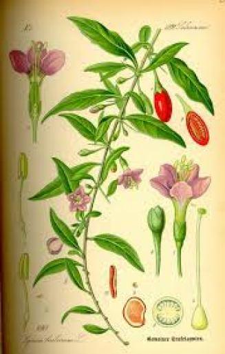 Годжі Дереза звичайна. Ботанічна ілюстрація з книги О. В. godzhi