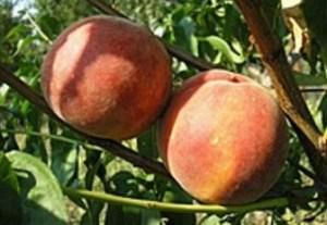 Персик сорту Парацельс