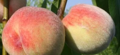 Персик сорту Пушистый ранний пухнастий ранній