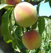 Персик сорту кримська осінь кримская осень