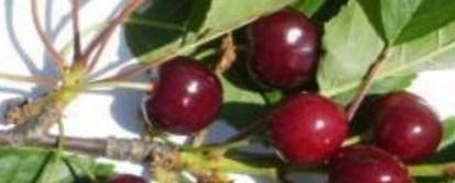 сорт черешні весенние напевки (або весняні наспіви)