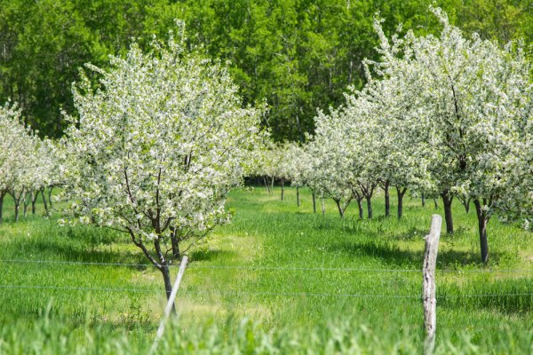 Cherry Orchard in Full Blossom