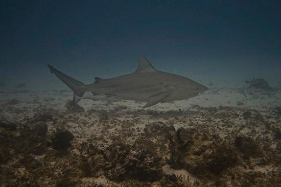 Caught Bull Shark River