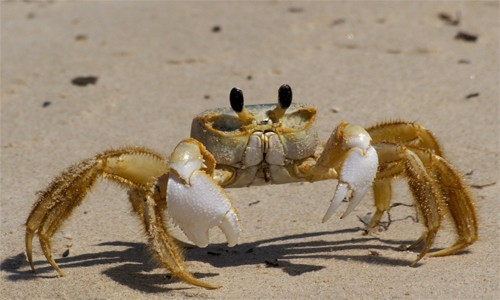 The ghost crab is said to get its common name from its ability to disappear so quickly from sight. (Terry K. Ross/Flickr)