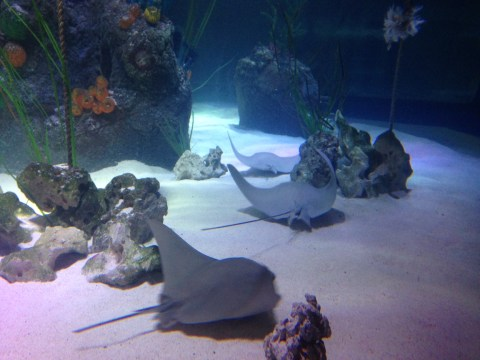Sea Life Manchester Rays