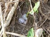 Grasshopper Sparrow Eggs and Nest_Mudford
