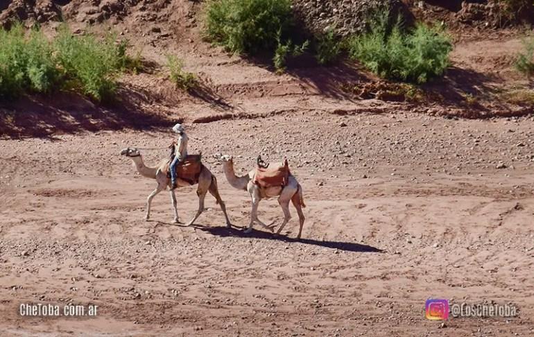 Camellos en el desierto Marroquí