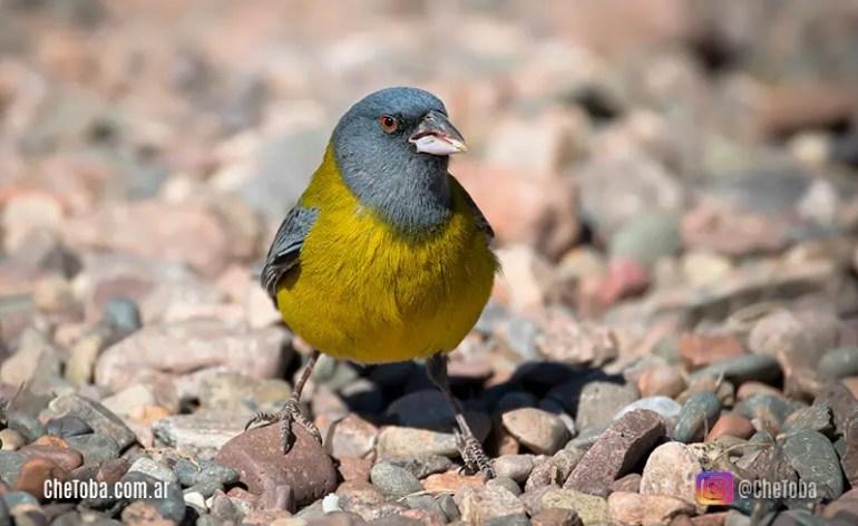 Cómo se pronuncian los nombres de las aves en latín (nombres científicos)