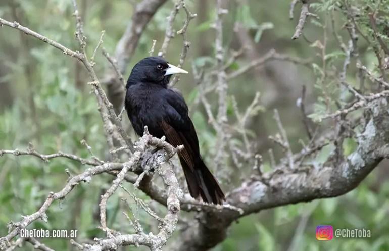 Boyero Negro (Cacicus solitarius)