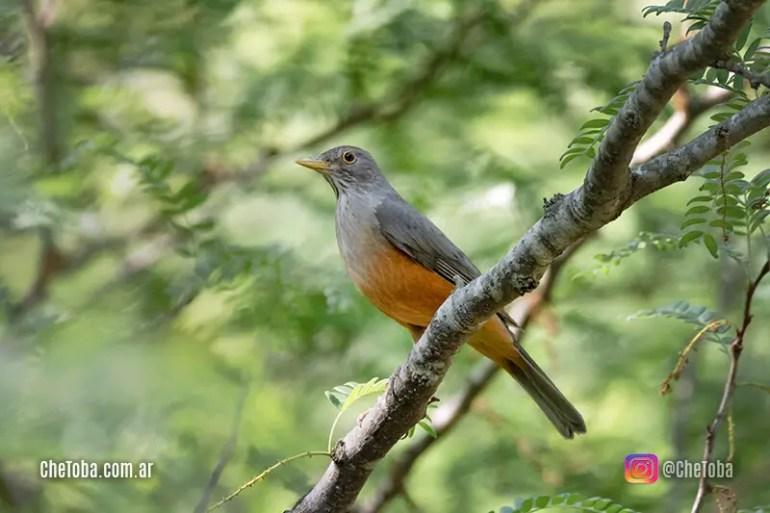 Lista de aves populares en Argentina
