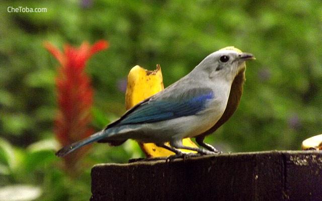 Azulejo Colombia Bird