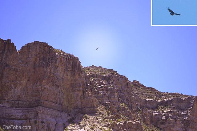Avistaje de Cóndor en el Cañón del Atuel