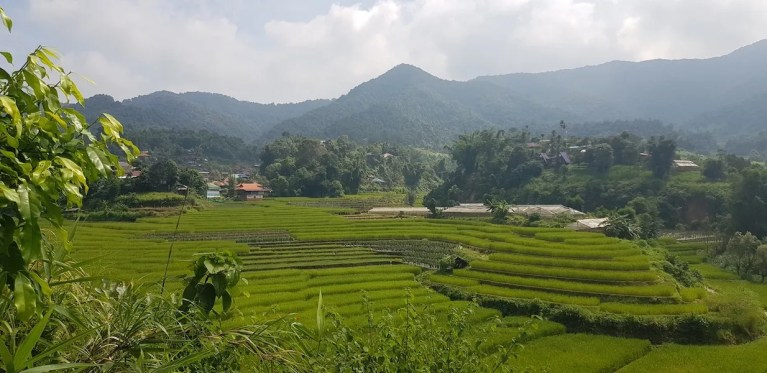 Green rice fields with mountains
