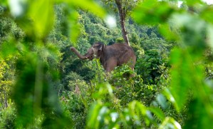 Elephant in the forrest