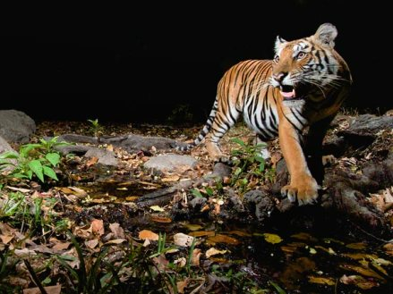 Strong government actions helping the big cat, scientists say.