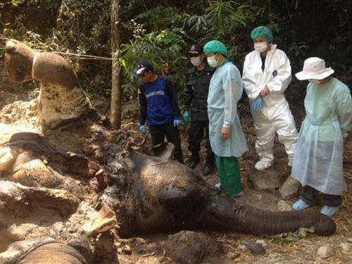 An autopsy on a elephant found shot dead in Kaeng Krachan National Park in Phetchaburi revealed a rifle bullet in her skull and that she recently gave birth. Photo: The Nation