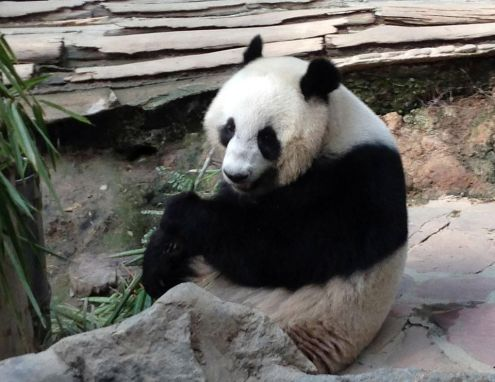 The giant panda born in Thailand, Lin Ping, will go to China in October to find a mate and then the couple will come back to stay in Thailand for 15 years, Foreign Affairs Minister Surapong Tovichakchaikul said on Friday.