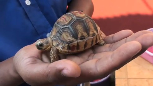 The ploughshare species are the rarest and most threatened tortoises in the world