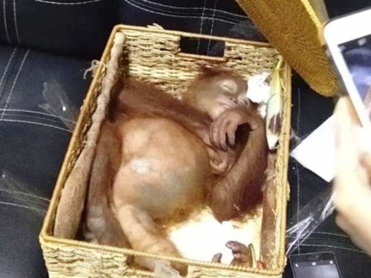 27 Year-old Russian Man Arrested for Trying to Smuggle Drugged Orangutan