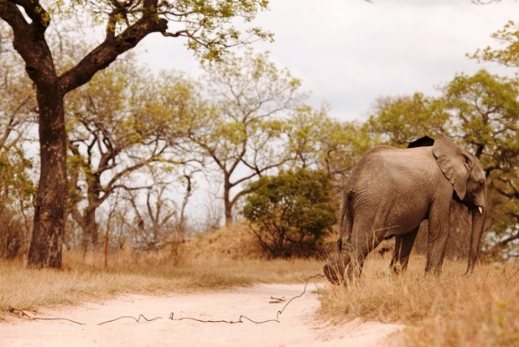 Wildlife Officials Launch Project to Rid Thailand of Elephant Trapping